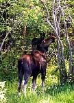 nfld_moose2.jpg
